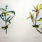 Childrens Warbler and Kentucky Warbler