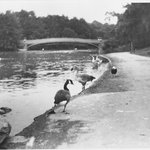 Geese, Central Park