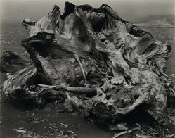 Edward Weston (American, 1886-1958). Drift Stump, North Coast, 1939. Gelatin silver photograph, Image: 7 1/2 x 9 3/4 in. (19.1 x 24.8 cm). Brooklyn Museum, Frank L. Babbott Fund and Frederick Loeser Fund, 46.75.4. © Center for Creative Photography, Arizona Board of Regents