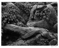 Edward Weston (American, 1886-1958). Cypress and Stone Crop, 1941. Gelatin silver photograph, Image: 7 1/2 x 9 5/8 in. (19.1 x 24.4 cm). Brooklyn Museum, Frank L. Babbott Fund and Frederick Loeser Fund, 46.75.7. © Center for Creative Photography, Arizona Board of Regents