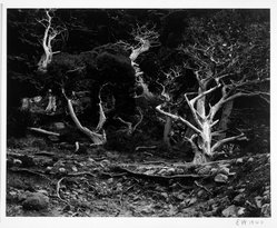 Edward Weston (American, 1886-1958). Cypress, Point Lobos, 1940. Gelatin silver photograph, Image: 7 1/2 x 9 5/8 in. (19.1 x 24.4 cm). Brooklyn Museum, Frank L. Babbott Fund and Frederick Loeser Fund, 46.75.8. © Center for Creative Photography, Arizona Board of Regents