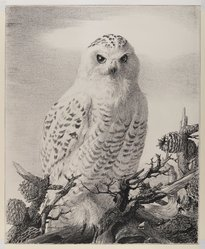 Stow Wengenroth (American, 1906-1978). Barred Owl Perched on Evergreen Branch, ca. 1960. Crayon, graphite, and ink on paperboard, sheet: 21 1/4 x 17 3/8 in. (54 x 44.1 cm). Brooklyn Museum, Gift of the Estate of Emily Winthrop Miles, 64.98.309. © artist or artist's estate