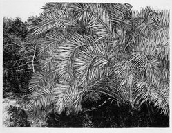 Patricia Tobacco Forrester (American, 1940-2011). Great Palm, 1974. Etching, Sheet: 22 3/8 x 30 1/16 in. (56.8 x 76.4 cm). Brooklyn Museum, Designated Purchase Fund, 77.77.2. © artist or artist's estate