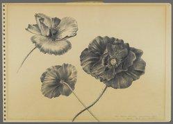 Peter Blume (American, 1906-1992). Untitled (Three Desert Poppies), 1950. Graphite on paper, 9 3/4 x 13 7/8 in. (24.8 x 35.2 cm). Brooklyn Museum, Bequest of Nancy S. Holsten in memory of Edward L. Holsten, 87.204.12. © artist or artist's estate