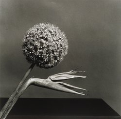 Robert Mapplethorpe (American, 1946-1989). Birds of Paradise. Gelatin silver photograph, Sheet: 19 3/4 x 16 in. (50.2 x 40.6 cm). Brooklyn Museum, Charles Stewart Smith Memorial Fund, 88.8. © artist or artist's estate