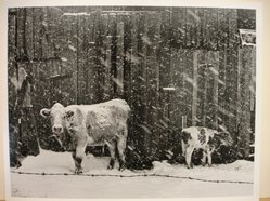 Builder Levy (American, born 1942). Cows in Snowstorm, 1970. Toned gelatin silver photograph, 10 3/4 x 13 3/4 in. Brooklyn Museum, Gift of Mr. and Mrs. Harold J. Levy, 1990.174.2. © artist or artist's estate