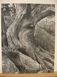 Clemens Kalischer (American, born 1921). Cypress Tree. Photograph Brooklyn Museum, Gift of the artist, 53.155.2. © artist or artist's estate