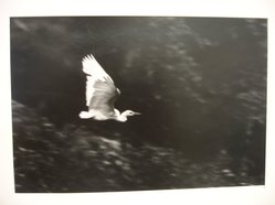 W. Eugene Smith (American, 1918-1978). [Untitled] (Egret in Flight), 1954. Gelatin silver photograph, Sheet: 10 1/2 x 13 in. (26.7 x 33 cm). Brooklyn Museum, Gift of Philip Goutell, 87.245.3. © W. Eugene Smith